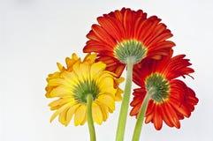 Dois e um - margaridas coloridas do gerbera Imagem de Stock Royalty Free