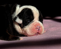 Dois e um meio cachorrinho inglês semanas de idade do buldogue imagens de stock