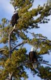 Dois Eagles Imagem de Stock