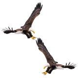 Dois Eagles calvo Imagens de Stock