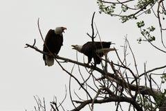 Dois Eagles calvo Fotos de Stock Royalty Free