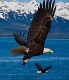 Dois Eagles em voo Imagens de Stock Royalty Free