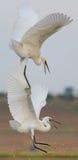 Dois egrets estão lutando em voo imagem de stock royalty free