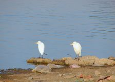 Dois Egrets pequenos no lago Randarda, Rajkot, Gujarat Imagens de Stock Royalty Free