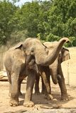 Dois elefantes Fotografia de Stock Royalty Free