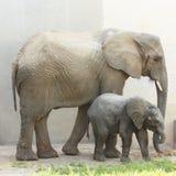 Dois elefantes Fotos de Stock