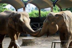 Dois elefantes foto de stock