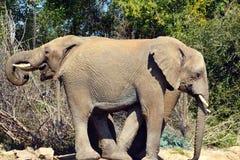 Dois elefantes Imagem de Stock Royalty Free