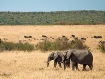 Dois elefantes adultos andam através do savana no Masai Mara National Park em rebanhos de Kenya do gnu e em fundo da árvore verde Fotografia de Stock Royalty Free