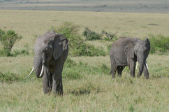 Dois elefantes africanos Foto de Stock Royalty Free