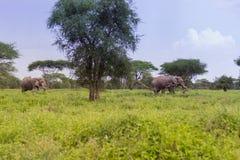 Dois elefantes africanos foto de stock