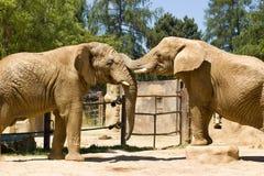 Dois elefantes africanos Fotografia de Stock Royalty Free