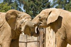 Dois elefantes africanos Imagens de Stock Royalty Free