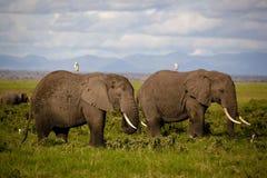 Dois elefantes africanos com egrets de gado suportam sobre foto de stock