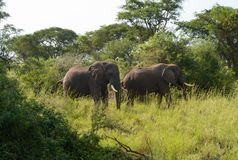 Dois elefantes africanos com presas fotos de stock royalty free