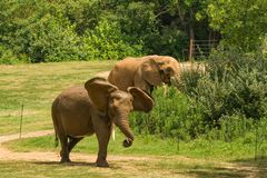 Dois elefantes africanos masculinos no Carolina Zoological Park norte foto de stock