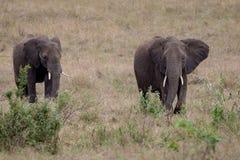Dois elefantes africanos que estão nas pastagem Masai Mara, Kenya imagens de stock royalty free