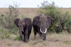 Dois elefantes africanos que estão nas pastagem Masai Mara, Kenya imagens de stock