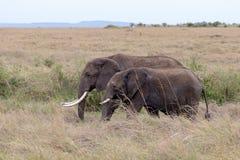 Dois elefantes africanos que estão nas pastagem Masai Mara, Kenya fotografia de stock royalty free