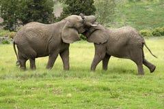 Dois elefantes africanos que lutam África do Sul Imagem de Stock