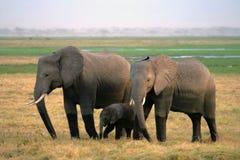 Dois elefantes com os jovens em NP Amboseli Imagem de Stock