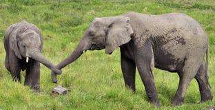 Dois elefantes com troncos amarrados Imagens de Stock