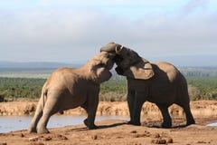 Dois elefantes de Bull novos Fotografia de Stock Royalty Free