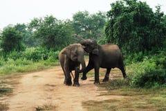Dois elefantes do bebê que jogam dentro do parque nacional do udawalawe, Sri Lanka fotos de stock