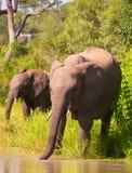 Dois elefantes em África do Sul Fotografia de Stock