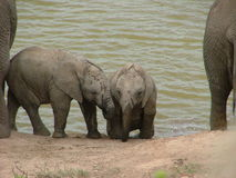 Dois elefantes em um furo molhando, Addo Elephant National Park do bebê Imagens de Stock Royalty Free