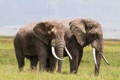 Dois elefantes enormes dentro da cratera de Ngorongoro Tanzânia, África fotografia de stock