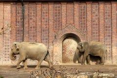 Dois elefantes indianos de encontro à parede Imagem de Stock Royalty Free