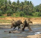Dois elefantes indianos que lutam no rio Fotografia de Stock