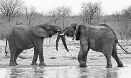 Dois elefantes jogam a luta com um girafa no fundo em Hwnage P nacional Fotos de Stock