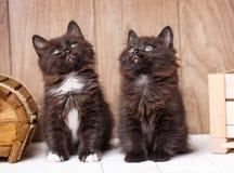 Dois engraçados e os gatos pretos bonitos do rabo cortado de Kurilian estão sentando-se Imagens de Stock