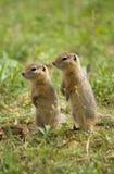 Dois esquilos observadores do gound Imagem de Stock Royalty Free