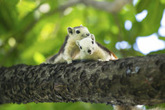 Dois esquilos pequenos bonitos que sentam-se no ramo Imagens de Stock Royalty Free