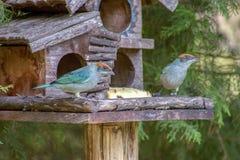 Dois exóticos esfregam pássaros dos tanagers imagens de stock royalty free
