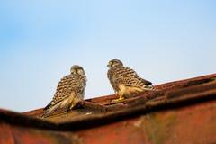 Dois falcões novos dos francelhos que sentam-se em um telhado e em uma observação Fotos de Stock Royalty Free