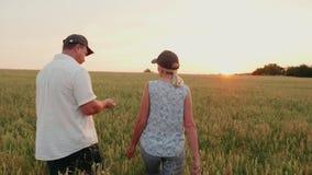 Dois fazendeiros - um homem e uma mulher estão andando ao longo do campo de trigo no por do sol Examine os spikelets, use a tabul video estoque