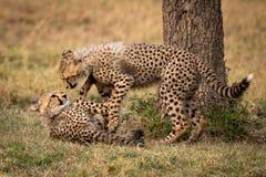 Dois filhotes da chita jogam a luta ao lado da árvore fotos de stock royalty free