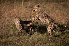 Dois filhotes da chita jogam a luta na grama foto de stock royalty free