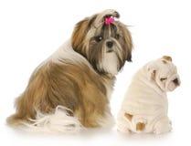 Dois filhotes de cachorro Imagem de Stock Royalty Free
