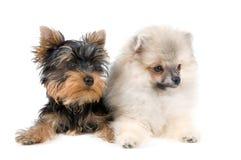 Dois filhotes de cachorro Foto de Stock Royalty Free