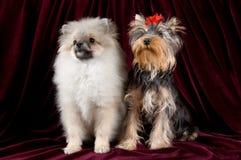 Dois filhotes de cachorro Fotografia de Stock