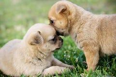 Dois filhotes de cachorro   Imagem de Stock