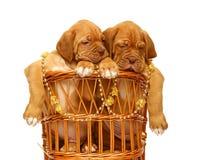 Dois filhotes de cachorro. Imagem de Stock Royalty Free