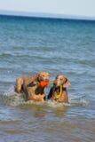 Dois filhotes de cachorro Foto de Stock
