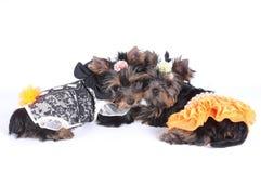 Dois filhotes de cachorro adoráveis isolados no branco Fotos de Stock Royalty Free