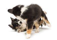 Dois filhotes de cachorro australianos do pastor, 2 meses velhos Imagens de Stock Royalty Free